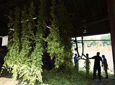 Hampton Estate Decorative Hops